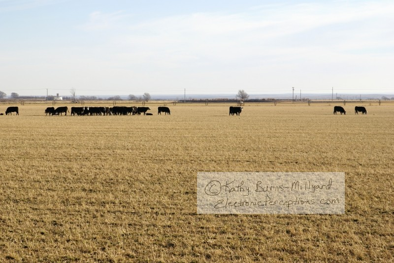 Animals Stock Photo: Cows in Field