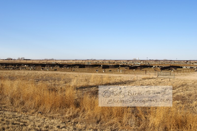 Animals Stock Photo: Cattle Stockyard