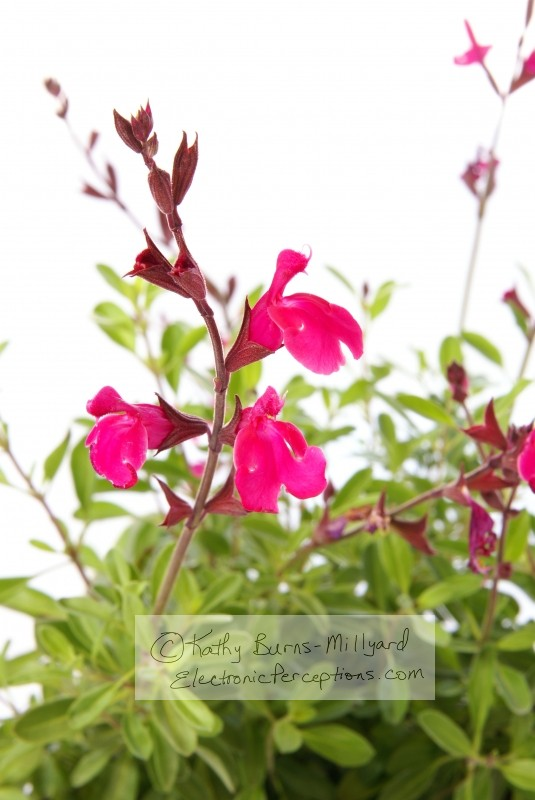 Stock Photo: Pink or Red Salvia - by Kathy Burns-Millyard