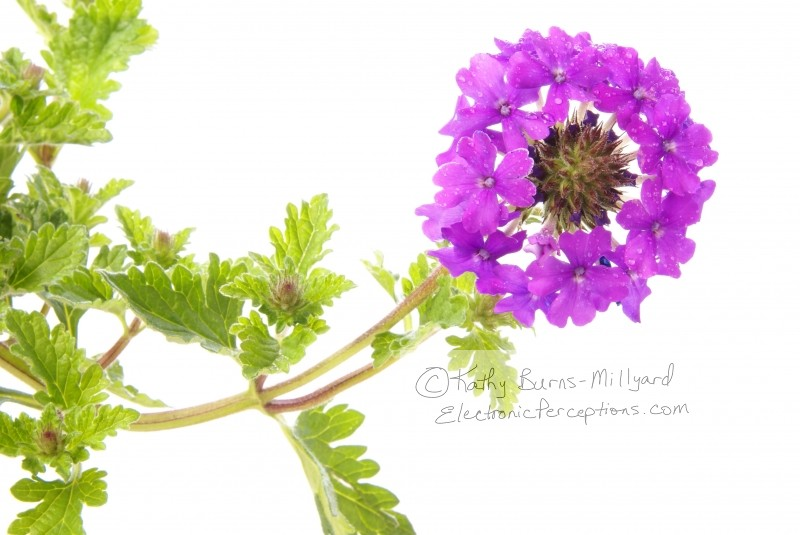 flower Stock Photo: Verbena Flower Cluster