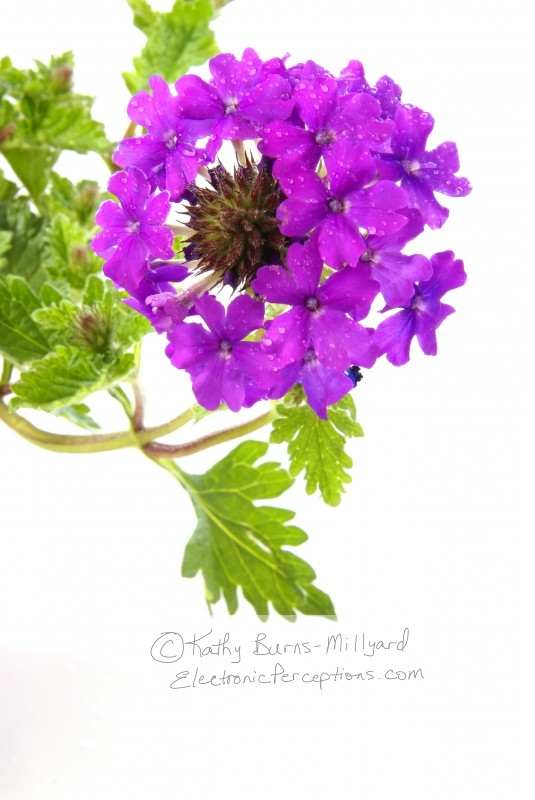 flower Stock Photo: Purple Verbena