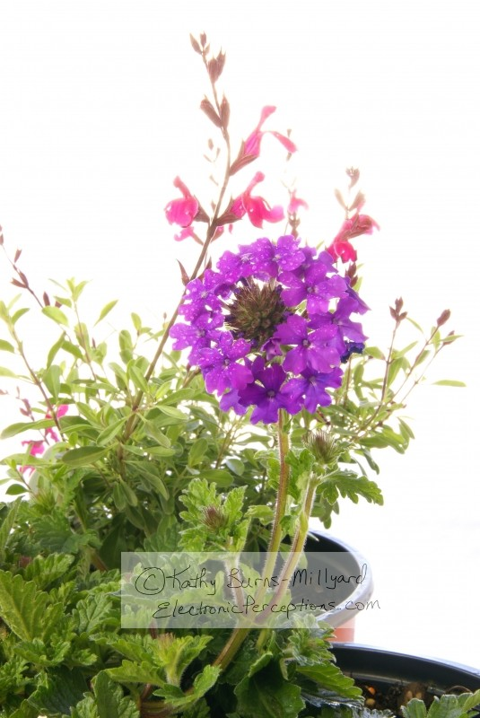 salvia Stock Photo: Spring Gardening