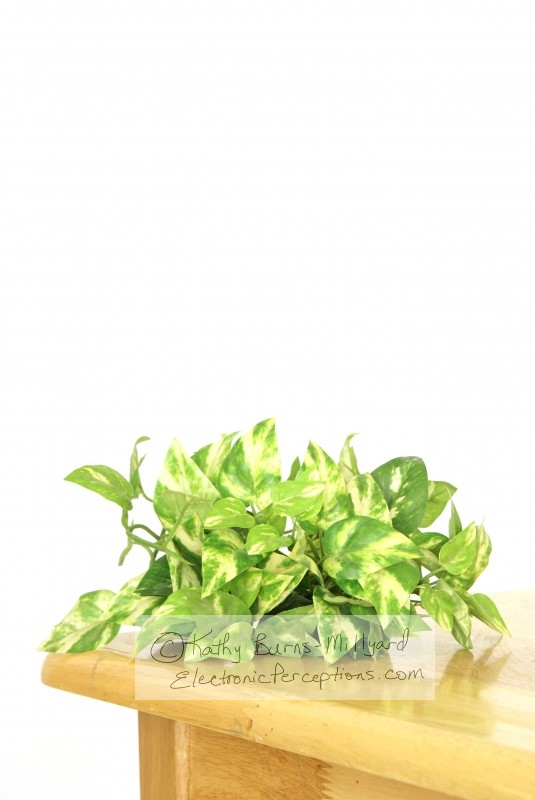 butcher Stock Photo: Silk Greenery