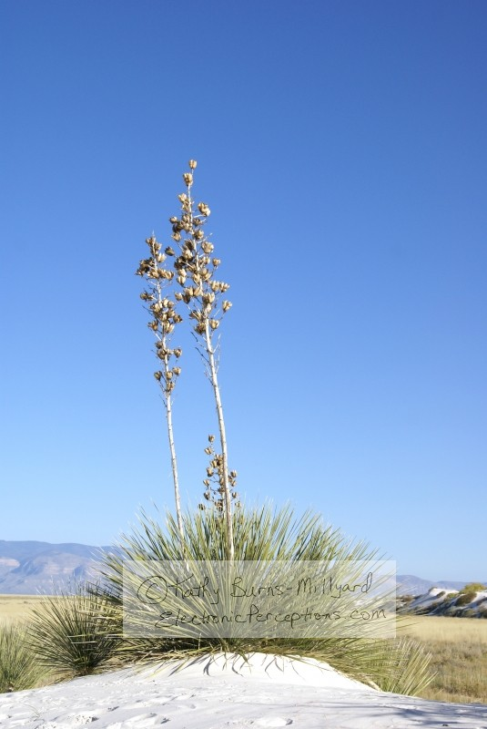 Nature Stock Photo: Yucca Cactus Plants