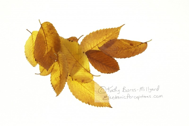 Stock Photo: Fall Leaves - by Kathy Burns-Millyard