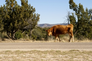 farm Stock Photo: Cow Grazing by Road