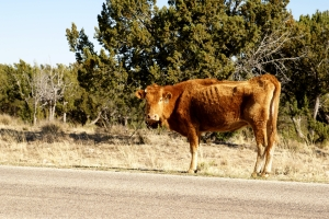 Stock Photo: Thin Red Cow - by Kathy Burns-Millyard