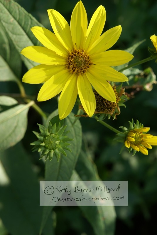 Stock Photo: Yellow Wild Flower - by Kathy Burns-Millyard