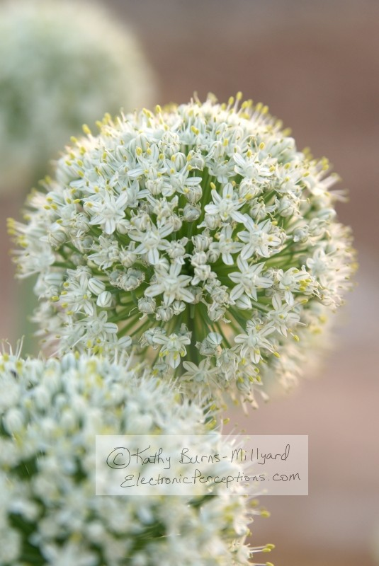 Nature Stock Photo: Onion Flowers in Bloom