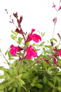 Royalty Free Image: Pink or Red Salvia