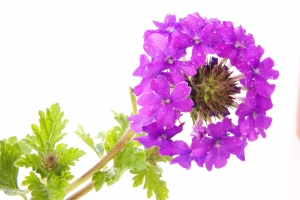 Royalty Free Image: Purple Verbena
