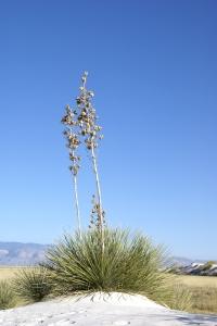 Royalty Free Image: Yucca Cactus Plants