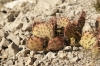 Royalty Free Image: Wild Prickly Pear Cactus