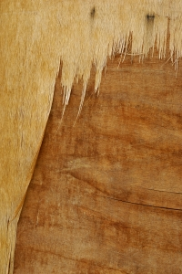 Royalty Free Image: Peeling Wood