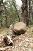 Royalty Free Image: Boulder and Tree