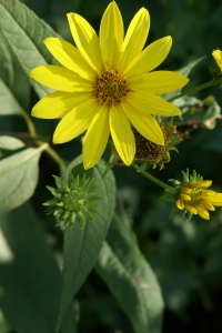 Royalty Free Image: Yellow Wild Flower