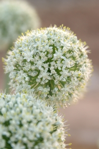 Royalty Free Image: Onion Flowers in Bloom