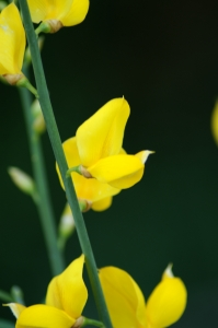 Royalty Free Image: Spanish Broom Flowers Close Up